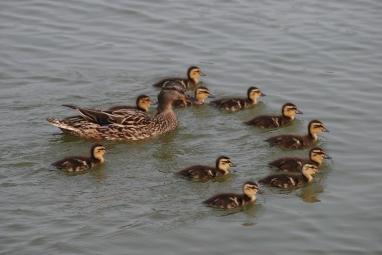 www.easttennesseewildflowers.com/gallery/index.php/Birds-I/Copy_of_Mallard_mom_ducklings1