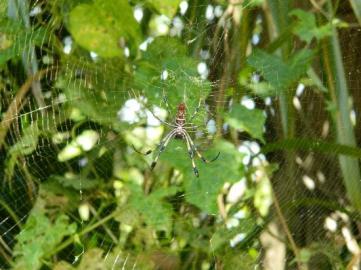 golden orb spider crane point