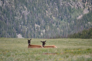 Elk Pair in Rockies 2015@healingwritingroom.com