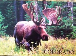 Moose pic
