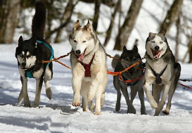 Huskies on leashes
