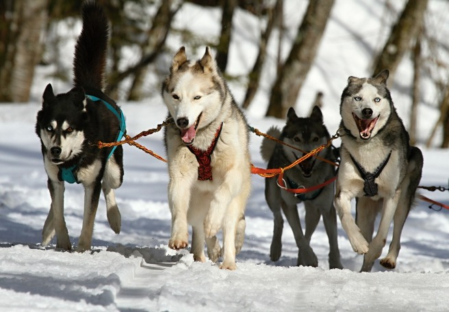 Huskies on leashes