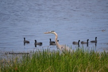 Blue heron and coots