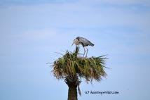 Blue heron nesting