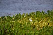 A pretty little cattle egret