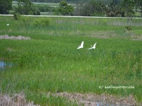 pair snowy egrets in flight