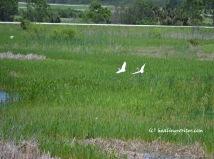 pair snowy egrets in flight
