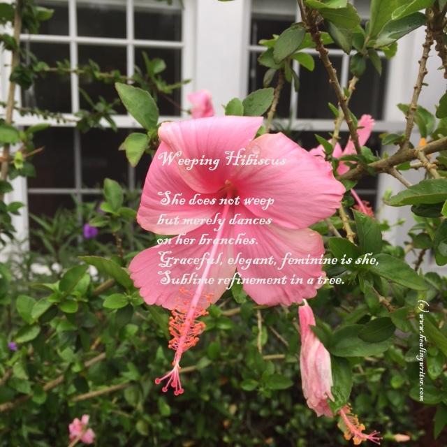 Weeping hibiscus