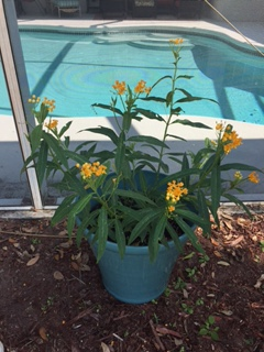 milkweed potted