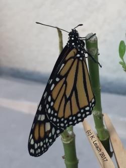 monarch profile HW