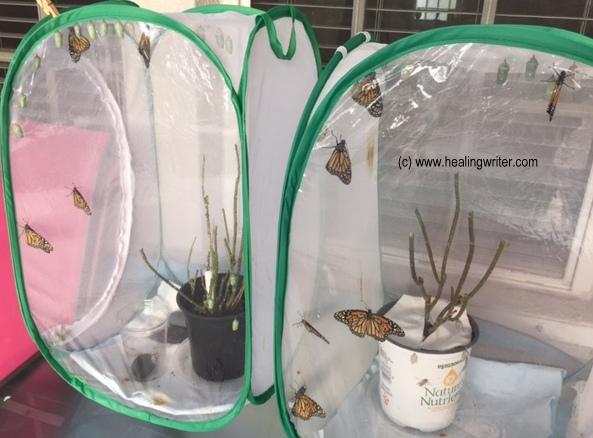monarchs born 102717 HW