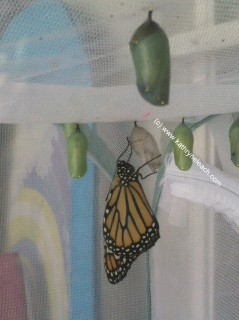 new monarch with cocoons