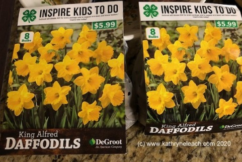 King Alfred daffodils (c)